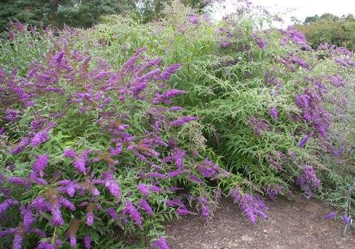 lila de verano, arbol de las mariposas cuidados | verde jardín