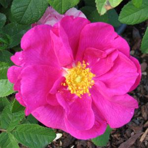 Rosa de Castilla Aplicaciones Medicinales