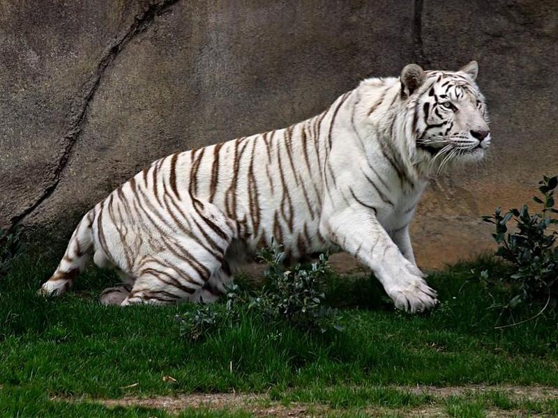 leon y tigre blanco - photo #32