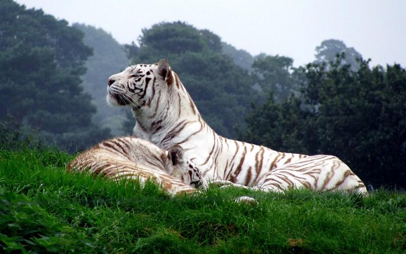 El majestuoso tigre blanco